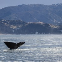 Whale watching tour in Kaikoura